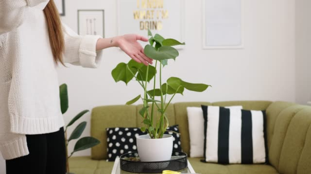 Young woman spraying a monstera with water, plants need a lot of moisture, especially in winter Young woman taking care of indoor house plants, monstera. Holding a spray bottle and spraying the plant, a monstera with water. Plant care as a hobby. potted plant stock videos & royalty-free footage