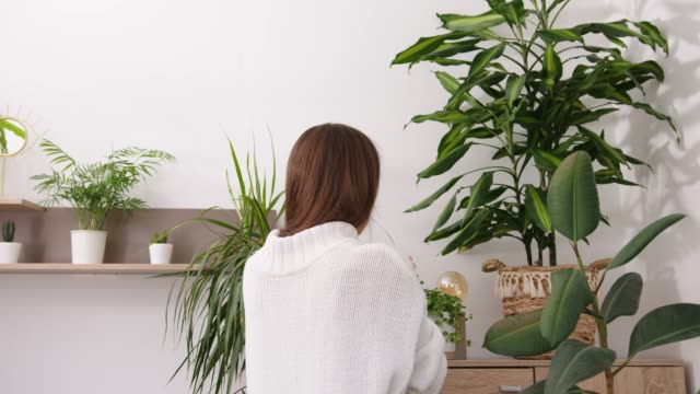 Young woman taking care of houseplants. Holding a spray bottle and spraying her collection of beautiful indoor plants video