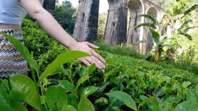 vídeos de stock e filmes b-roll de young woman touchs srilankan tea - sri lanka