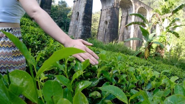 young woman touchs srilankan tea caucasian girl is walking in Ella tea plantation sri lanka stock videos & royalty-free footage