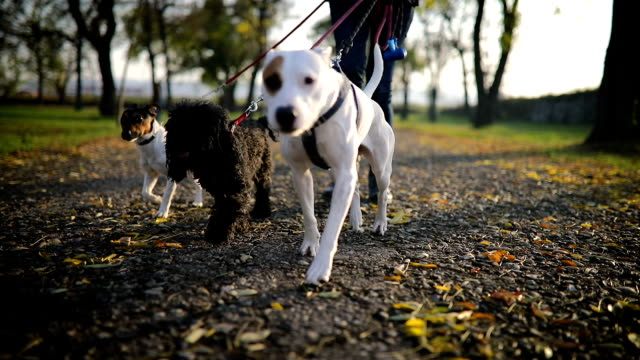 young woman walking with three dogs in public park - vivere semplicemente video stock e b–roll