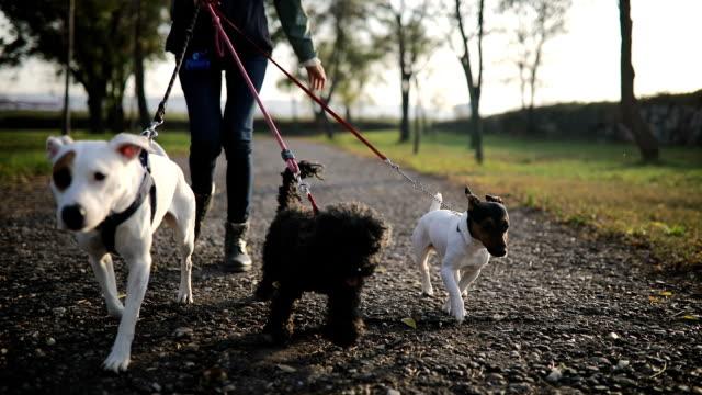 vídeos de stock, filmes e b-roll de mulher nova que anda com três cães no parque público - cão
