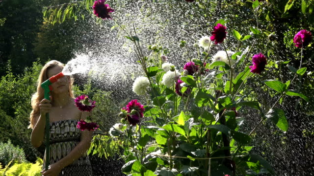young woman watering dahlia with hose sprinkler in sunny day. 4k - tubo flessibile video stock e b–roll