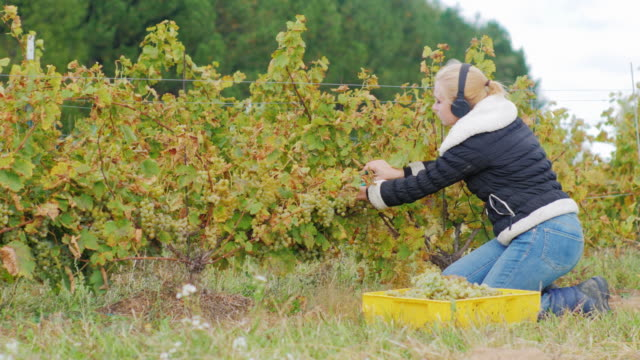 Young woman with headphones running in the vineyard. Cuts ripe bunches of white grapes and listening to music video
