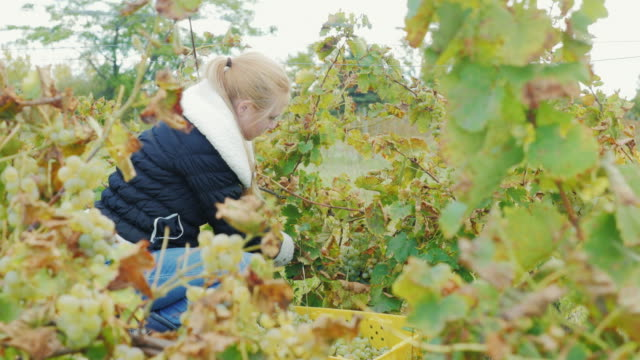 Young woman working in the vineyard, collect bunches of ripe white grapes video