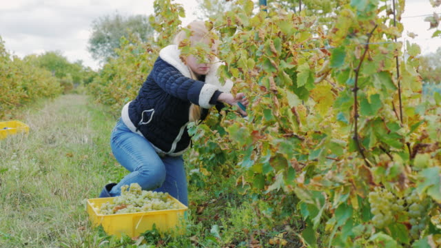 Young woman working in the vineyard. Cuts with scissors grapes video