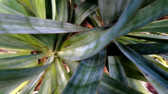 Yucca cactus plant close-up zoom. video