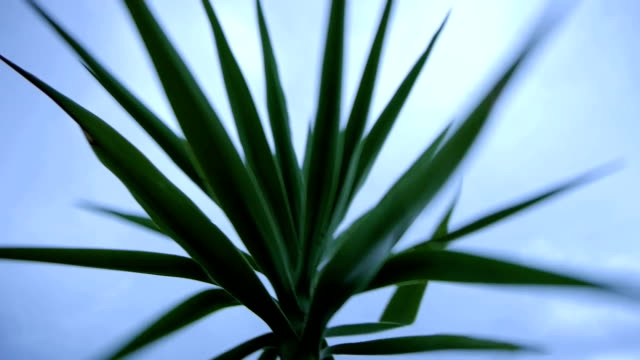 yucca in the wind - cespuglio tropicale video stock e b–roll