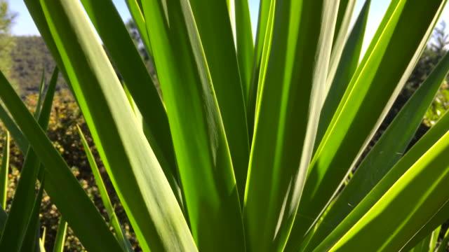 Yucca plant & panoramic sea view video