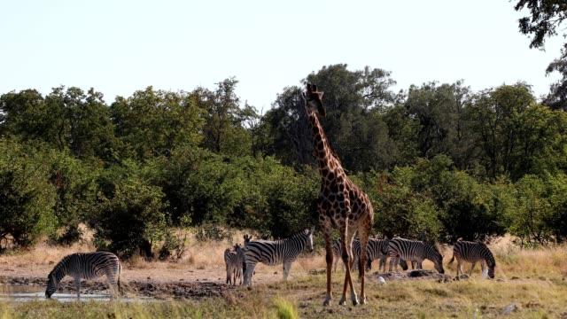 vidéos et rushes de zèbre et girafe dans la brousse, faune de l'afrique du botswana - plan d'eau