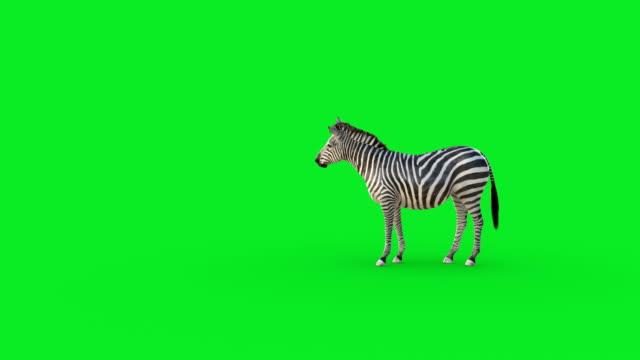 zebra-animation auf grünem bildschirm - großwild stock-videos und b-roll-filmmaterial