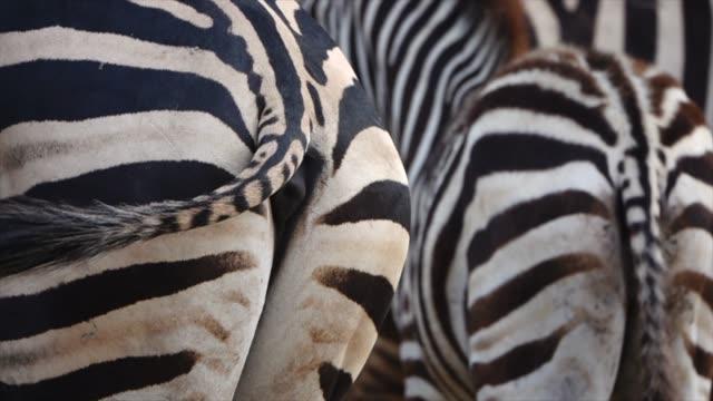 zebra-arsch in der natur, slow motion - großwild stock-videos und b-roll-filmmaterial
