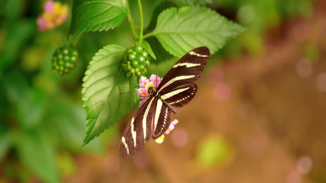 4K - Zebra Butterfly Collects Nectar of Flowers