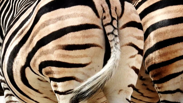 Zebra dancing, Rear view video