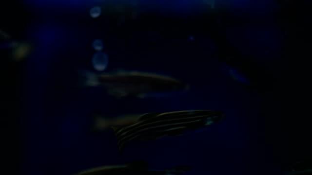 Zebra Danios Close Up video