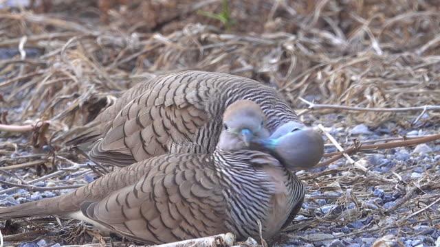 汚れにゼブラ鳩 - 動物の身体各部点の映像素材/bロール