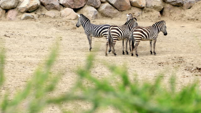 Zebra family walking on the savannah video