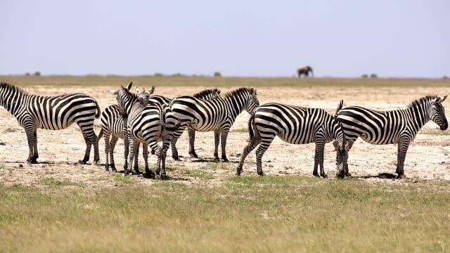 zebra flirten für sich paaren - großwild stock-videos und b-roll-filmmaterial