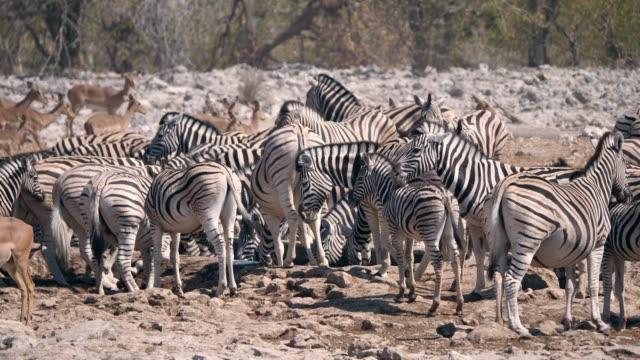 vidéos et rushes de troupeau de zèbre au trou d'eau dans le np d'etosha - plan d'eau