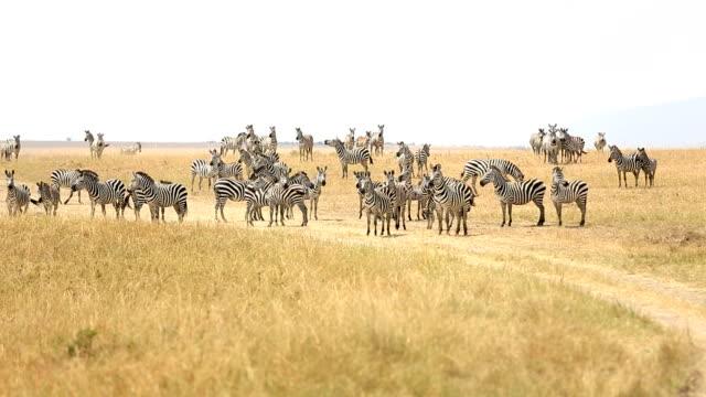 Zebra Herd Grazing at Savannah video