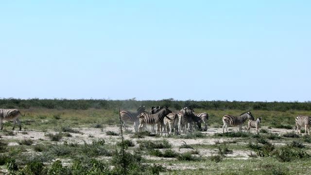 Zebra in bush, Namibia Africa wildlife
