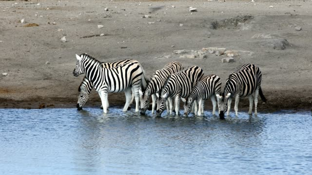 zebra in etosha namibia wildlife safari - equino video stock e b–roll
