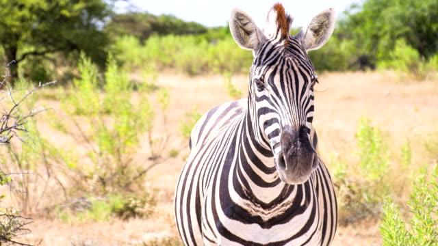 ms zo zebra in the african savannah - single pampas grass bildbanksvideor och videomaterial från bakom kulisserna