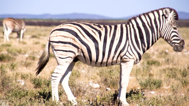 ls zebra in the african savannah - single pampas grass bildbanksvideor och videomaterial från bakom kulisserna