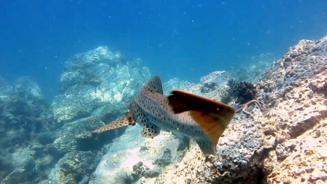 ゼブラ イタチザメ (stegostoma fasciatum) リアビュー。 このサメはコバンザメ (echeneidae) が接続されています。 最近分類がされて再、レッドリストに絶滅危惧種として iucn によって、これらの優美な生き物は、野生では珍しい光景となっています。 - 後方点の映像素材/bロール