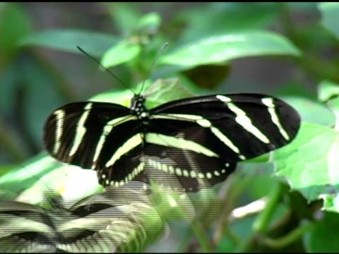 farfalla heliconius zebra 1 ntsc - stame video stock e b–roll