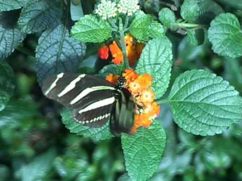 PAL: Zebra longwing butterfly (Heliconius Charitonia)