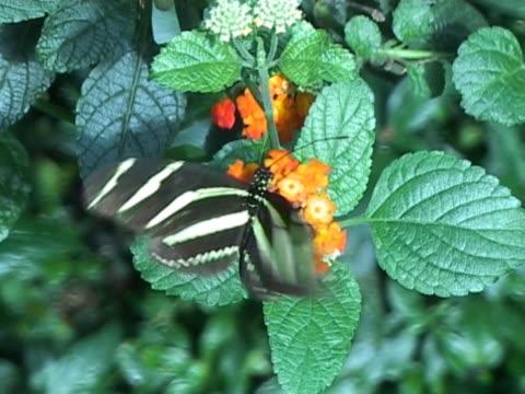 NTSC: Zebra longwing butterfly (Heliconius Charitonia)