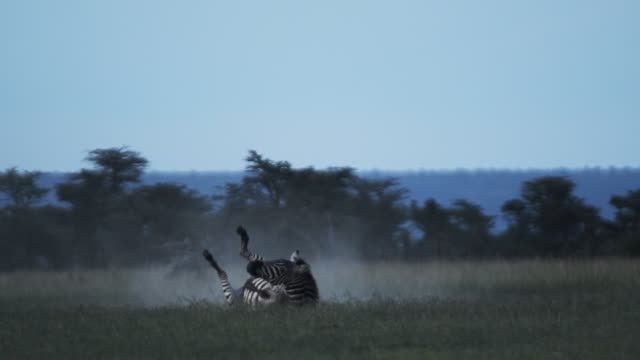 Zebra rolling over on a dusty grassland, in the Kenyan savannah, Africa, at dusk