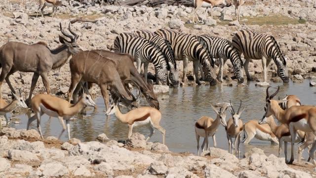 vidéos et rushes de antilopes zebra, springbok et kudu dans un trou d'eau, parc national d'etosha - plan d'eau
