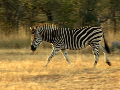 zebra hengst - pferdeartige stock-videos und b-roll-filmmaterial