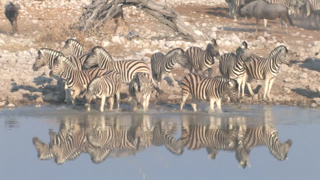 Zebra Zebra drinking at a waterhole in Etosha National Park, Namibia, Africa. waterhole stock videos & royalty-free footage