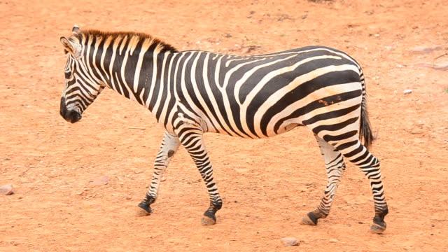 zebra - soltanto un animale video stock e b–roll