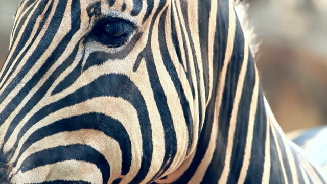 vidéos et rushes de zèbre - tête d'un animal