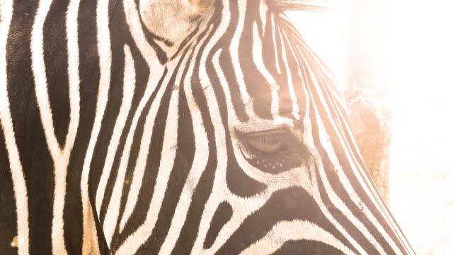 zebra video