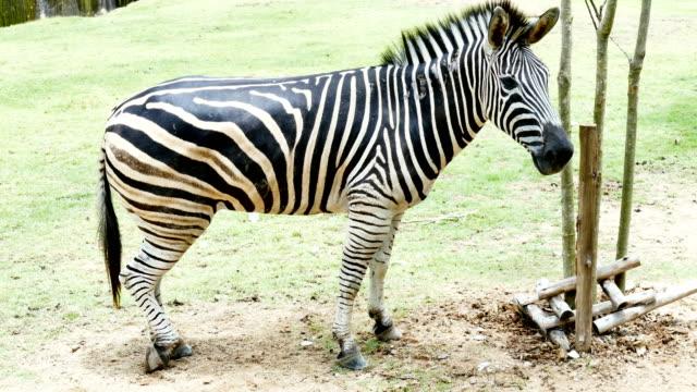 zebra - single pampas grass bildbanksvideor och videomaterial från bakom kulisserna