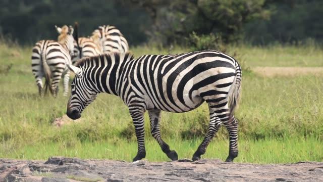 Zebra walking in a grassland, in the Kenyan savannah, Africa