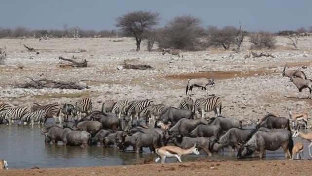 vidéos et rushes de zèbre, wildebeest, springbok et gemsbok dans un trou d'eau, parc national d'etosha - plan d'eau
