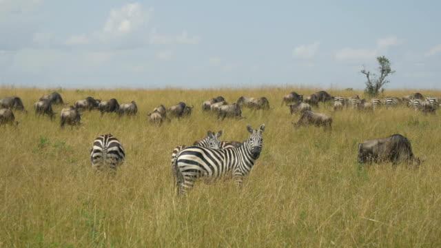 Gnou zèbres et de Maasai Mara safari africain - Vidéo
