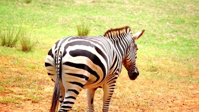 le zebre viaggiano per mangiare, mangiare - stallone video stock e b–roll