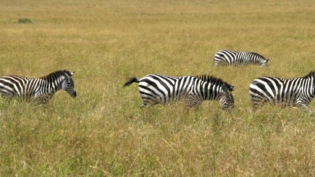 zebras at great migration - obiekt światowego dziedzictwa unesco filmów i materiałów b-roll