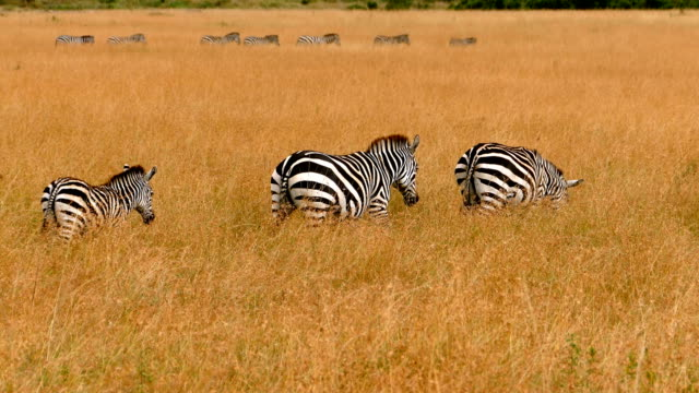 zebras at great wildebeest migration in kenya - wildlife travel stock videos and b-roll footage