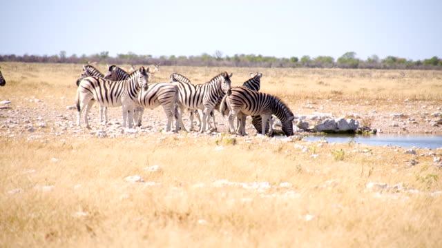 LS Zebras Drinking Water In Savannah video