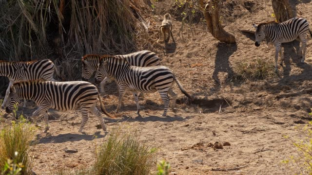 Zebras going down to waterhole to drink