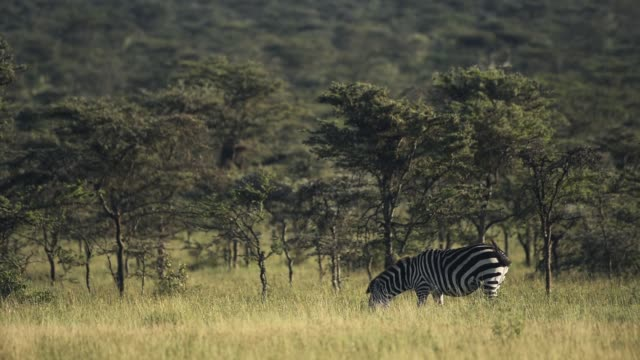 Zebras grazing in a grassland, in the Kenyan bush, Africa