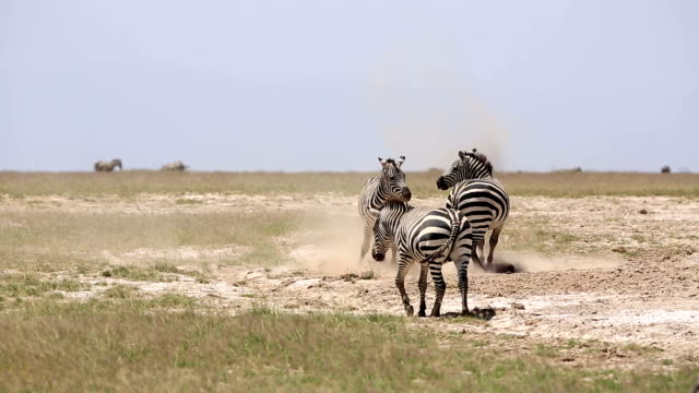 Zebras playing for mating video